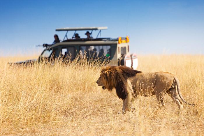 image of tourists watching a lion during a safari. tanzania safaris