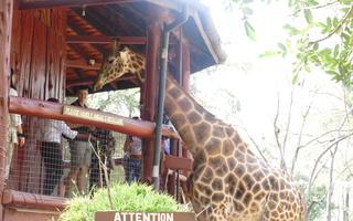 giraffe centre. nairobi. kenya